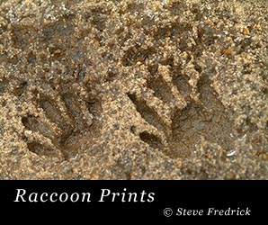 Raccoon Prints in the sand near a creek at Welkimewier